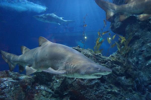 Shark-Sea Life Ocean World Bangkok